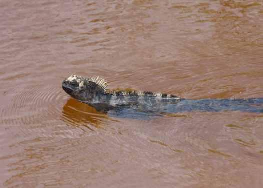 Marine Iguana Swimming on Isabela aAlapagos