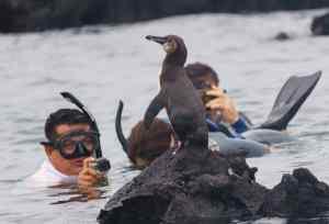 Galapagos Penguin at Los Tuneles