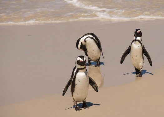 Boulder Beach Penguins