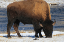 Don't Ski Too Close To Sleeping Bison
