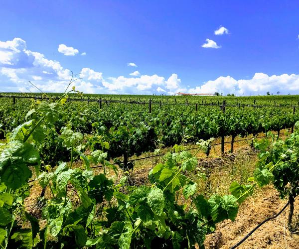 Portugal Wine Vineyard