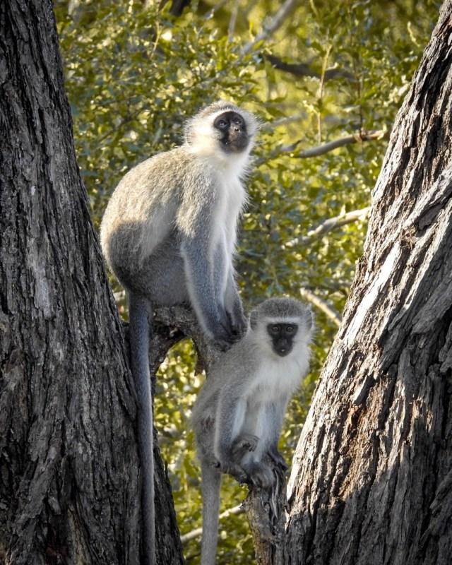 South Africa Safari Monkey