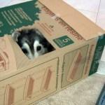 Cat-Husky