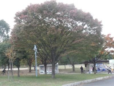 秋の公園の大きな木の紅葉