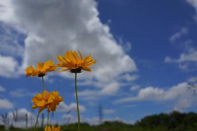 初夏の一輪の黄色い花と青空と