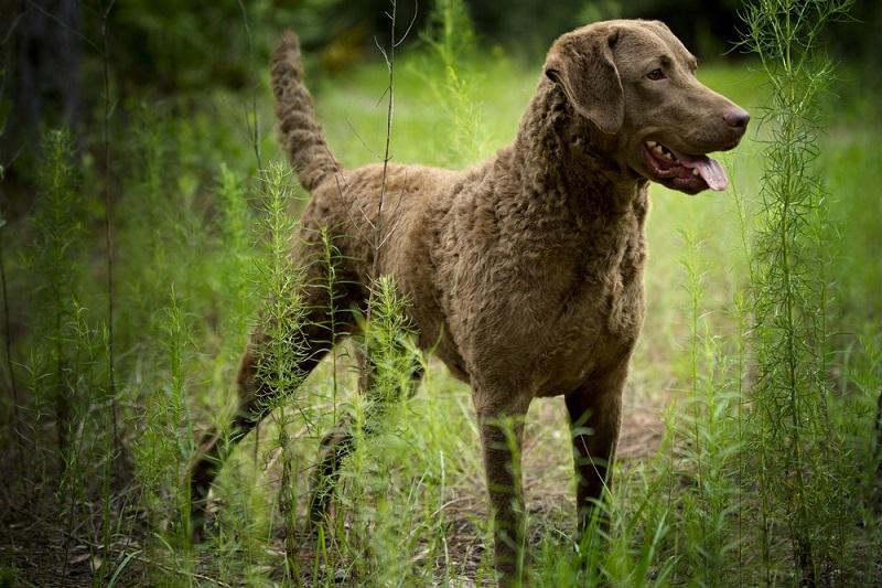 hunting dog breeds
