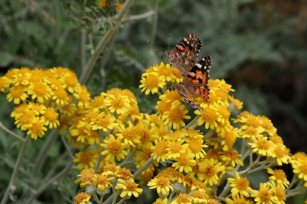 Farfalle su fiori gialli