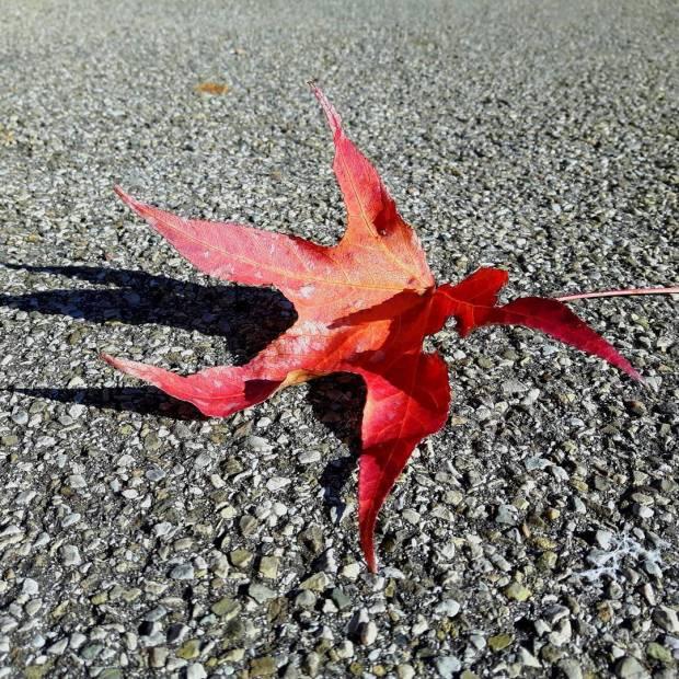 siena buongiornosiena fall leaf