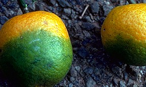 CitrusGreening1