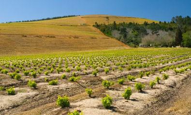 Kanonkop vineyard and hills