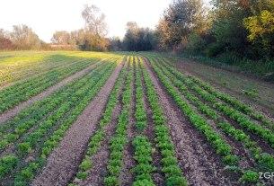 polje zelene salate 2014
