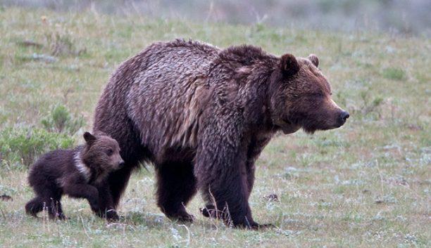 Bear-Grizzly-YS-Cub_TamJimStewart_680-612x353