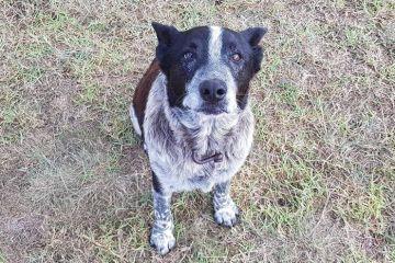 Questo cane ha protetto una bambina per 15 ore dalle intemperie ed è ora un cane della onorario polizia