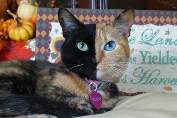 Questo gatto di nome Venus ha la faccia davvero speciale