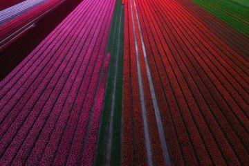 I tulipani in Olanda visti da un grande fotografo