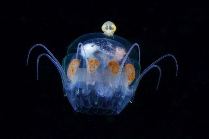 Il plancton come non l'avete mai visto nelle foto di Ryo Minemizu