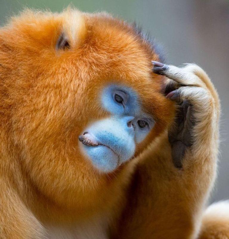"""e scimmie come """"Le Penseur"""" di Rodin"""