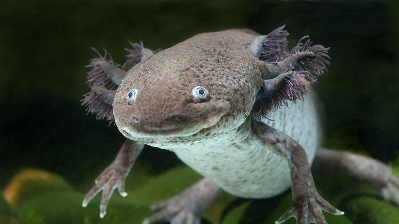 animali strani Axolotl