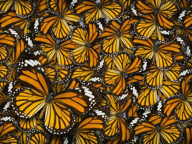 I colori delle farfalle