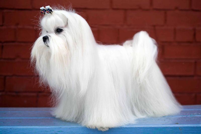 Taglio del pelo cane maltese