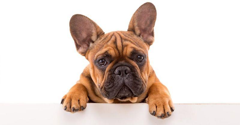 Quanto costa bulldog francese