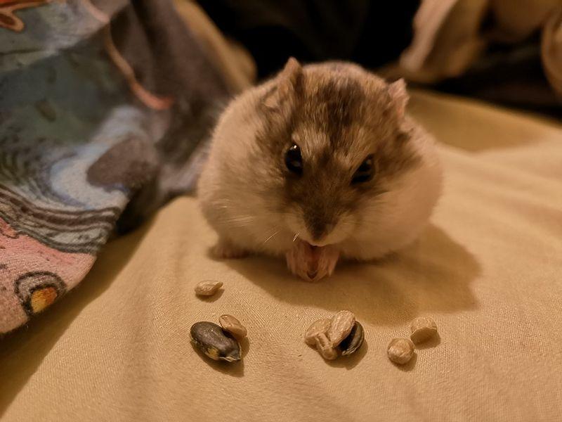 Criceto che mangia semi