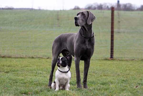 Razze di cani grandi alano