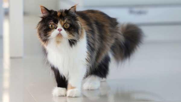 gatto-persiano-calico