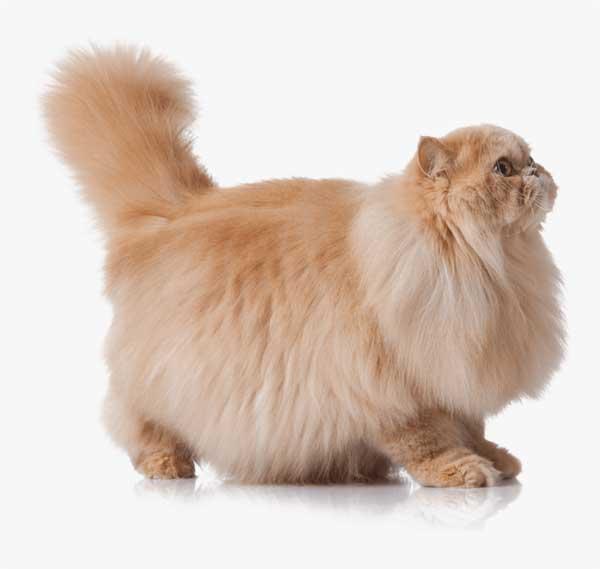 gatto-persiano-rosso