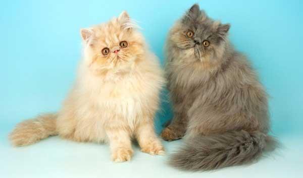 gattini persiani rosso blu
