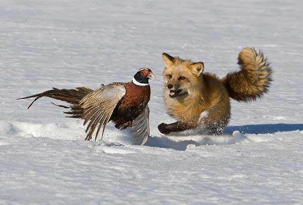 volpe rossa mentre caccia un uccello