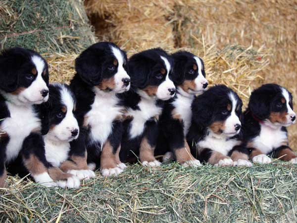 Bovaro del bernese cuccioli
