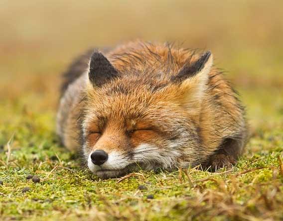 volpe rossa che dorme