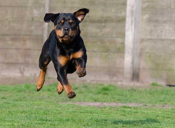rottweiler in corsa