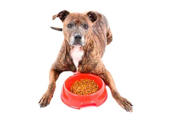 American pitbull terrier che mangia