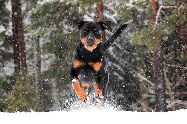 rottweiler in corsa sulla neve