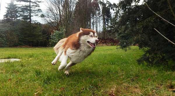 siberian husky rosso che corre