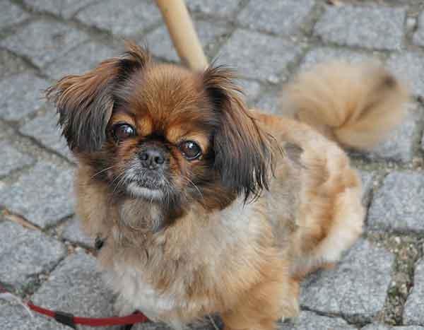 cane pechinese marrone seduto