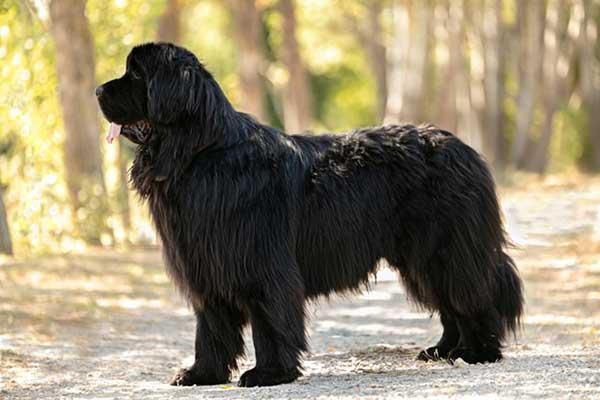 cane terranova nero all'aperto di fianco
