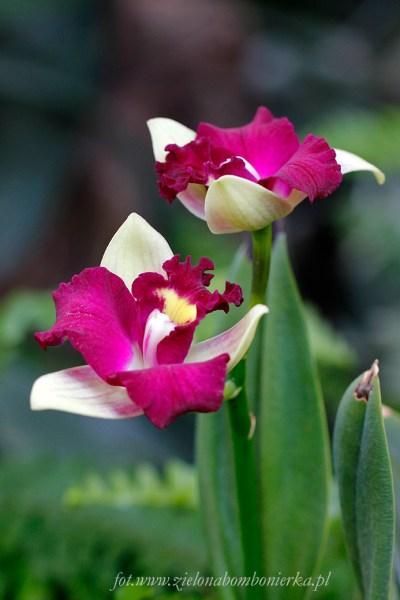 Brassolaeliocattleya Haw Yuan Beauty
