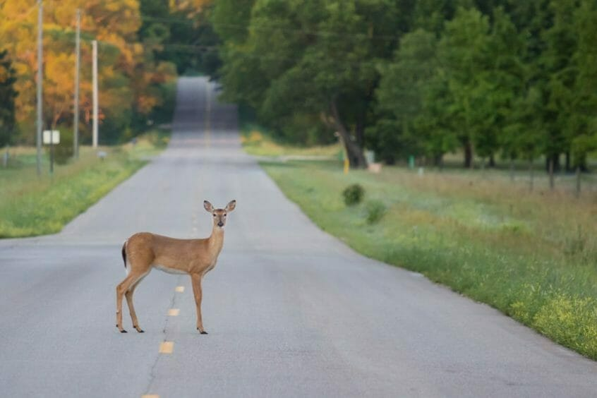 14251290 m 846x564 - Deer Season Makes Twin Tiers Roads More Dangerous This Fall, Says NY and PA Personal Injury Lawyer