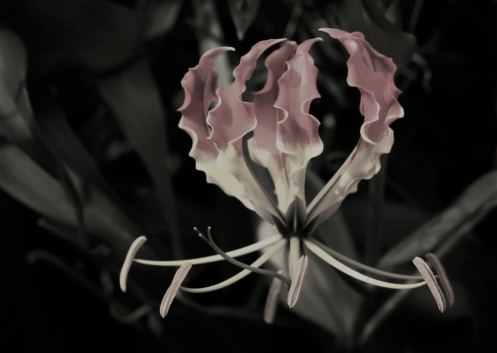 Picture of the Zimbbwean official flower by David Clode.