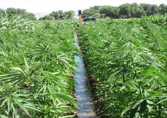 Mbanje growing regulations unpacked