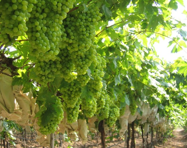 zimbabwe grape farming opportunity