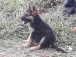 German Shepherd puppies zimbabwe edhu zimshoppingmalls