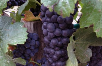 russian river valley grapes