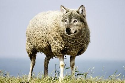 wolf in schaapskleren msp