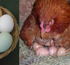 Kienyeji Kari hatching eggs