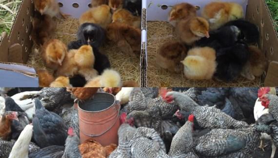 Kari chicks