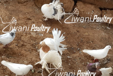 We sell good strong Pigeons, Geese, KARI chicks. KALRO chicken, formally known a KARI Improved Kienyeji are excellent layers. We start selling our KARI chicks at one week old. F1 KARI Chicks at Ziwani Poultry Farm. Call us on 0708923991 visit our website for more information and other breeds of chicken and ducks...http://www.ziwanipoultry.com/kari-kuroiler-and-kienyeji-chicks-for-sale-in-kenya-poultry-farming-in-kenya-at-its-best/kari-improved-kienyeji-chicks-for-sale/